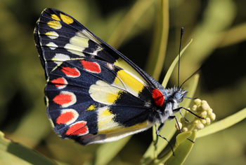 Jezebel butterfly